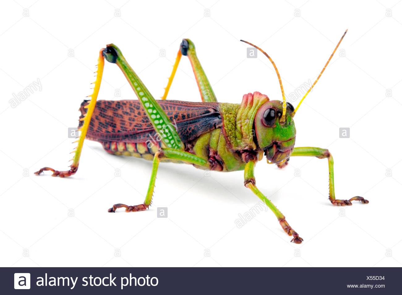 Suedamerikanische Riesenheuschrecke, Riesenheuschrecke (Tropidacris collaris), Freisteller | giant grasshopper (Tropidacris coll - Stock Image