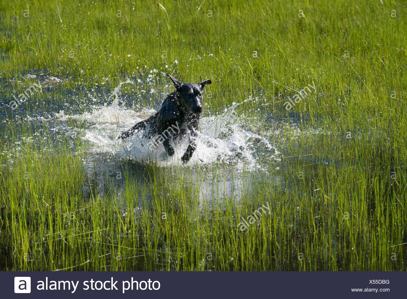 A black labrador dog bounding through shallow water. - Stock Image