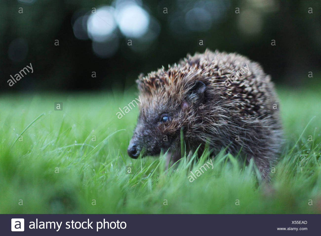 Handewitt, Germany, runs a hedgehog in the garden over the lawn - Stock Image