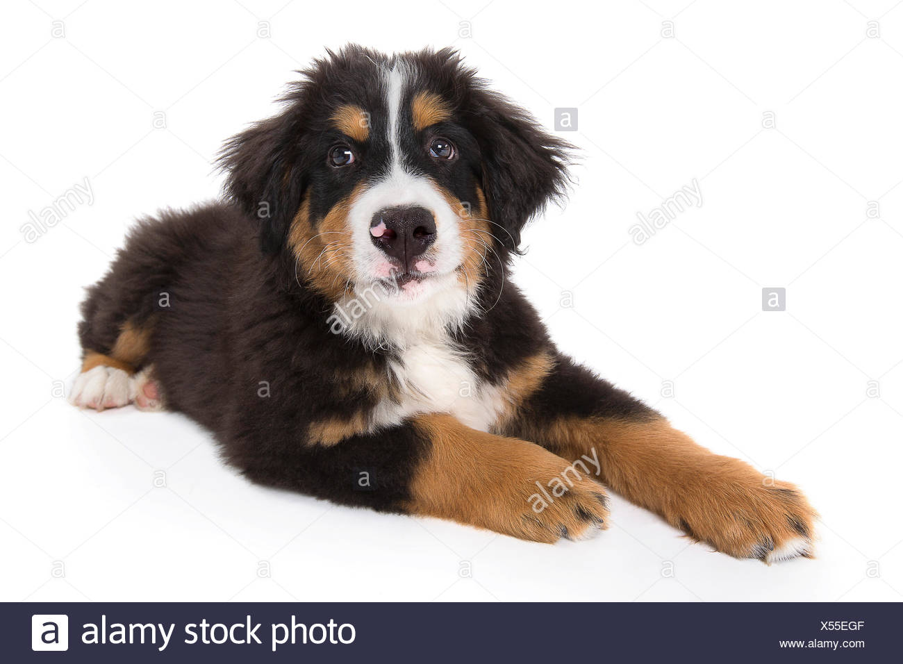 bernese mountain dog puppy 16 weeks lying X55EGF