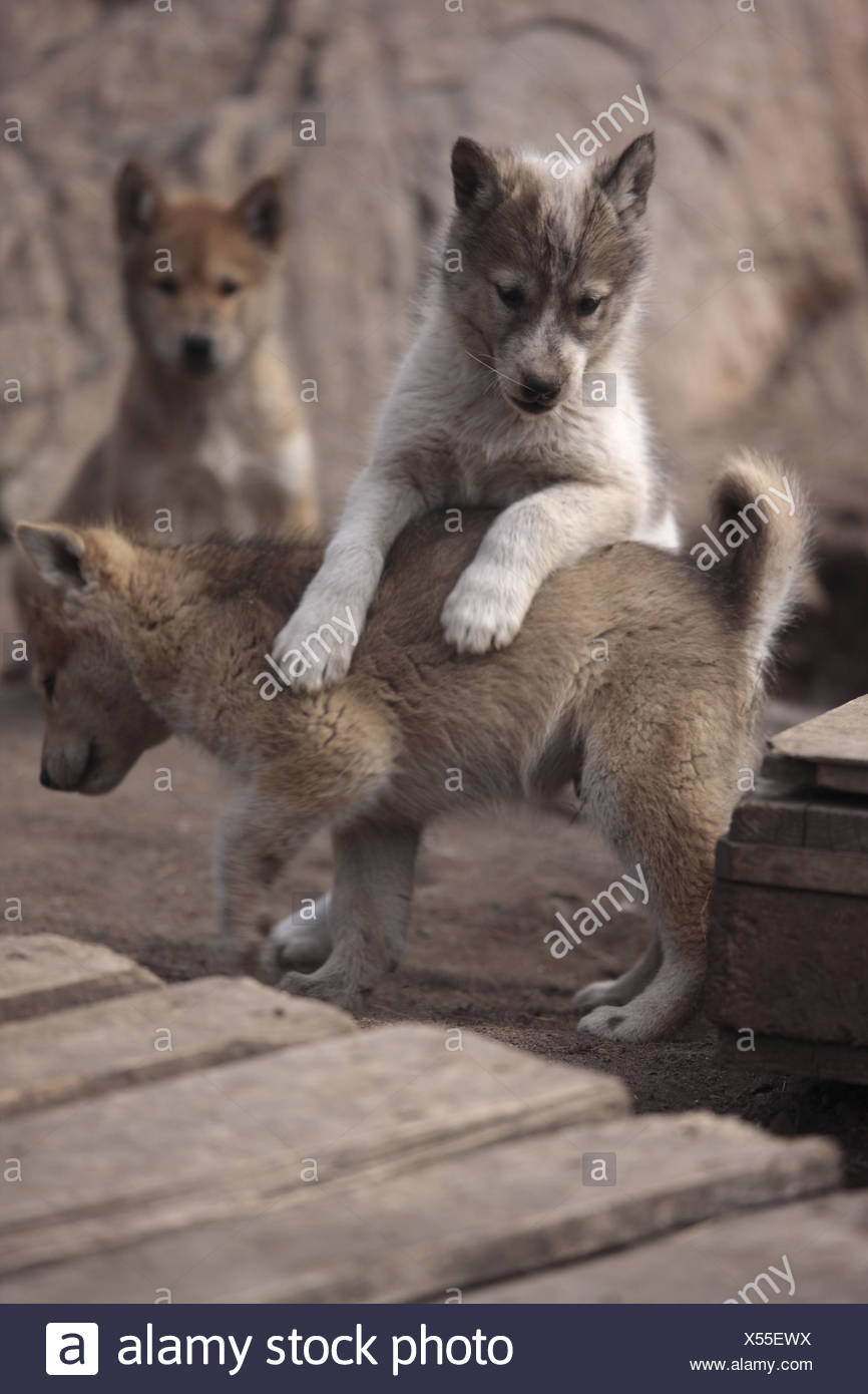 Greenland, Sisimiut, sled dogs, huskies, puppies, loses, Western Greenland, animals, dogs, benefit animals, outside, deserted, keeping of pets, young animals, young animals, play, nicely, sweetly, small, - Stock Image