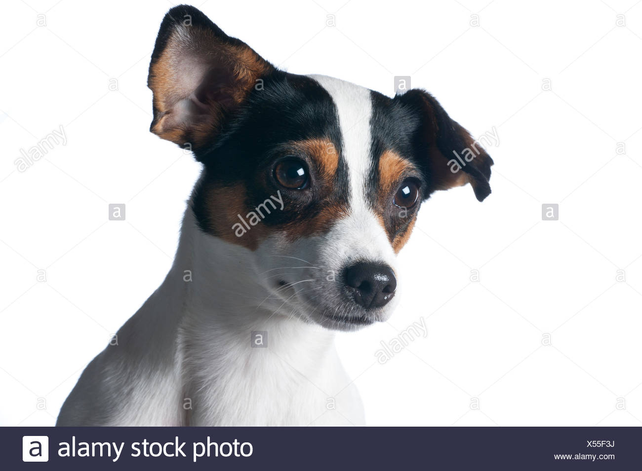 Danish / Swedish farm dog, Finland. - Stock Image