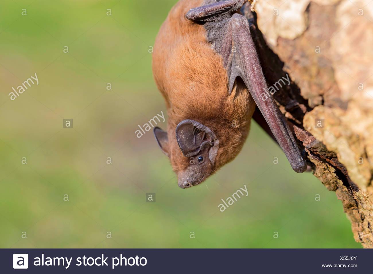 Leisler's bat (Nyctalus leisleri), at a tree trunk, Germany, Bavaria, Niederbayern, Lower Bavaria - Stock Image