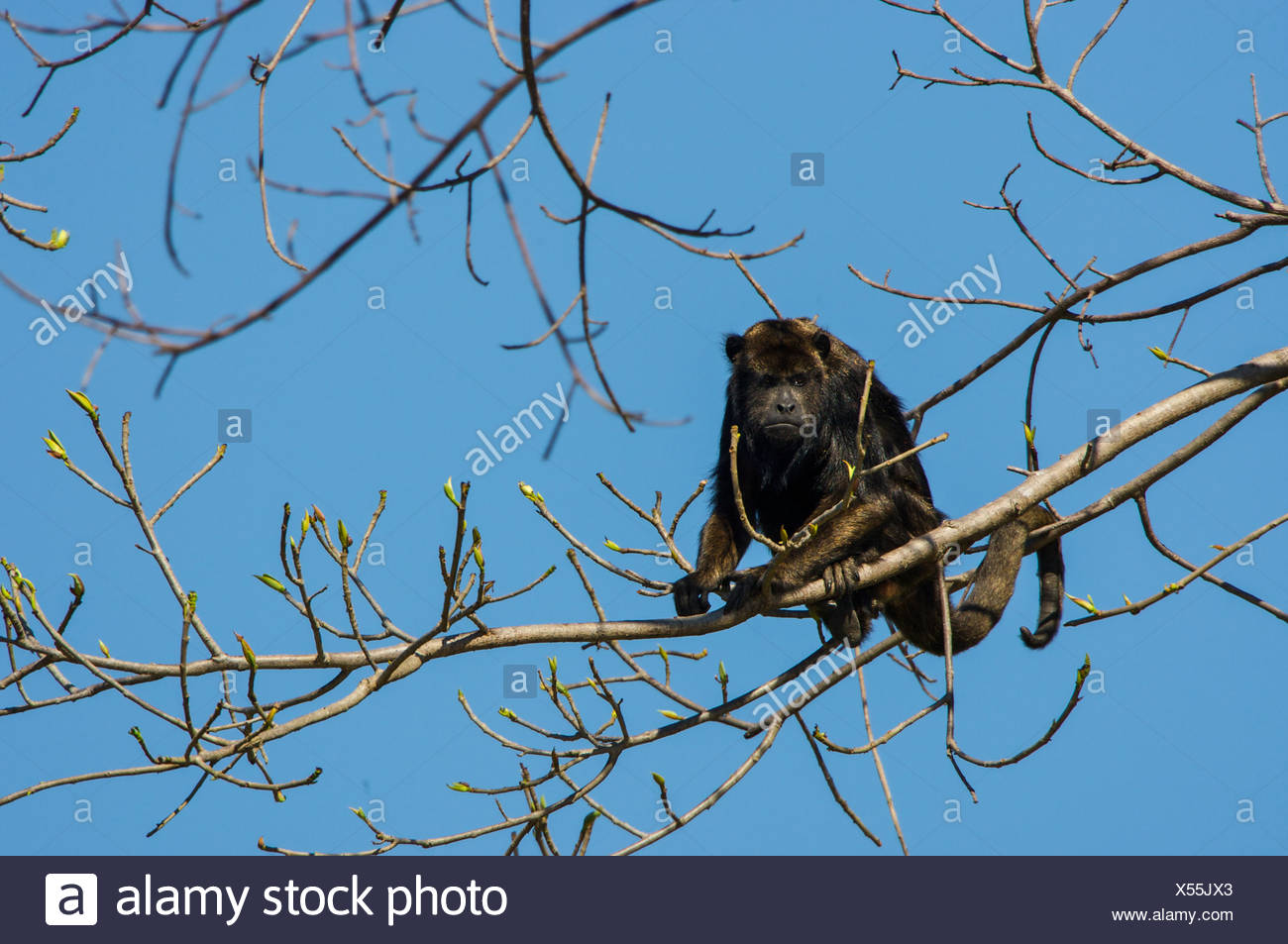 A monkey glaring down from a tree top. - Stock Image