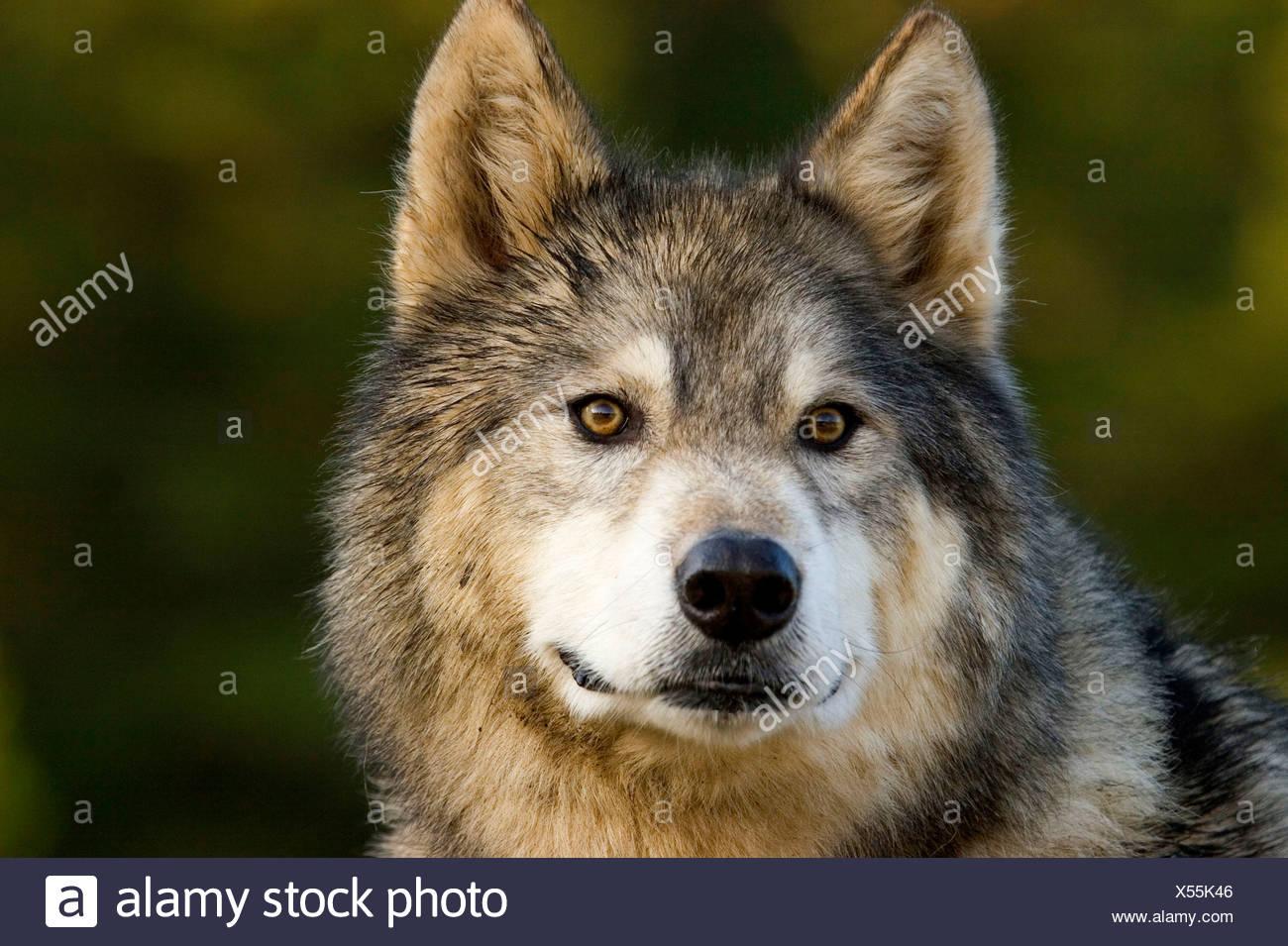wolf mix stock photo 278563942 alamy