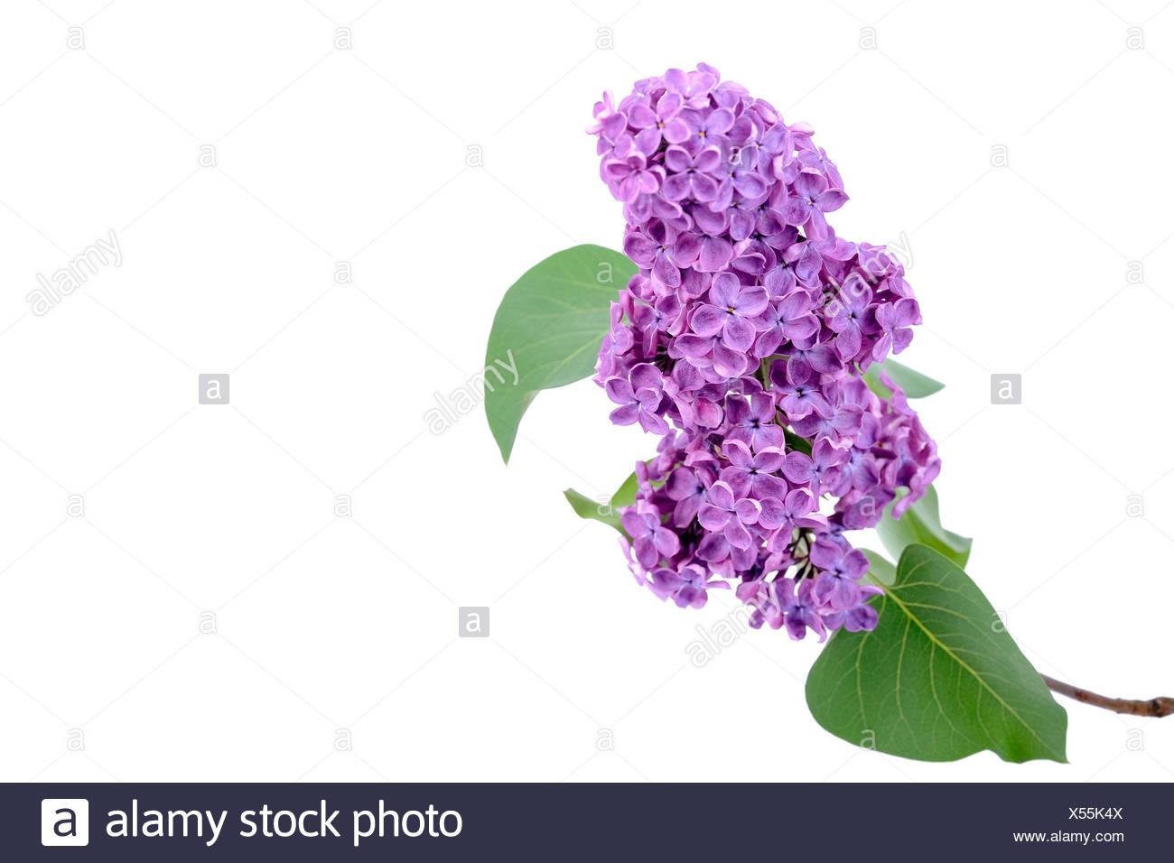 Purple Lilac (Syringa) - Stock Image