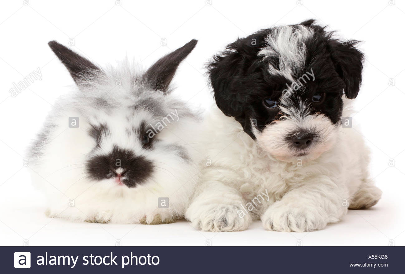 Black-and-white Cavapoo puppy and domestic rabbit - Stock Image