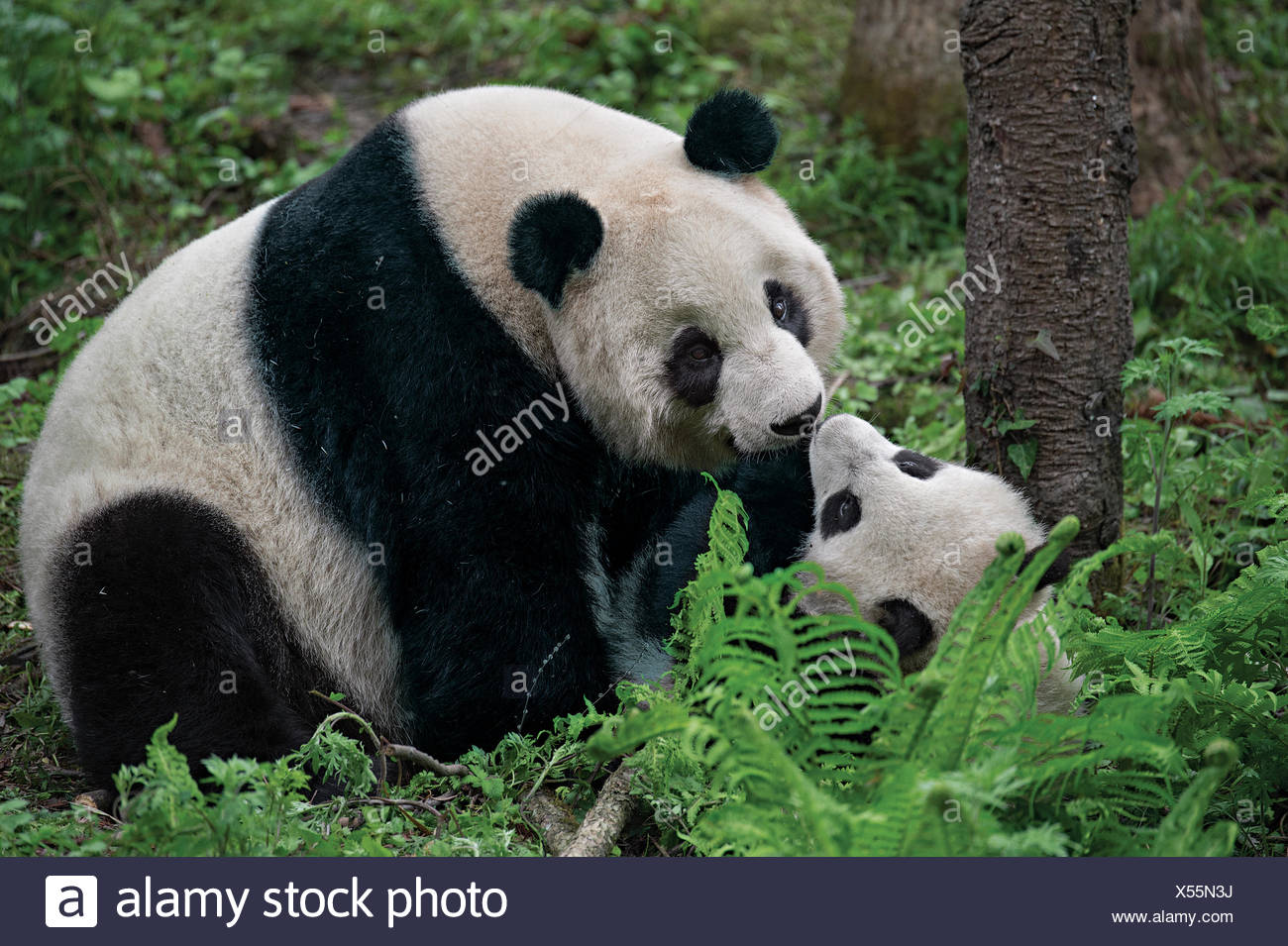A giant panda mother plays with her cub inside their enclosure at the Wolong Nature Reserve. - Stock Image