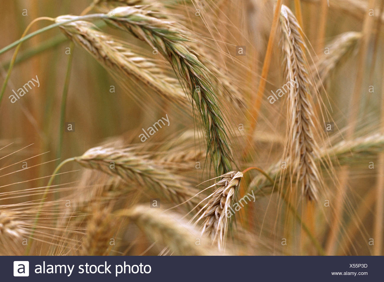 cultivated rye (Secale cereale 'Afghanicum', Secale cereale Afghanicum), cultivar Afghanicum - Stock Image
