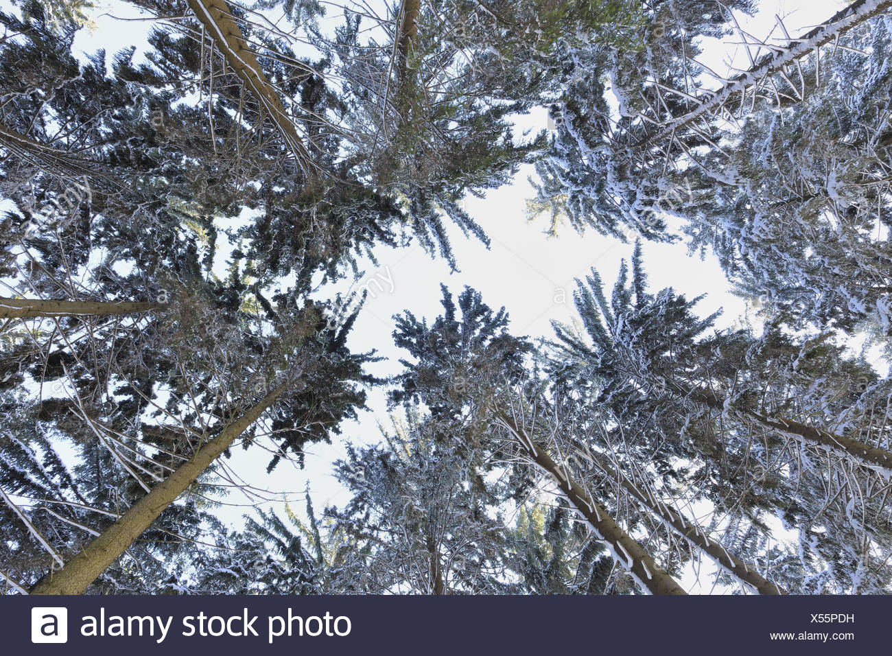 Conifers, detail, from below, winter, - Stock Image