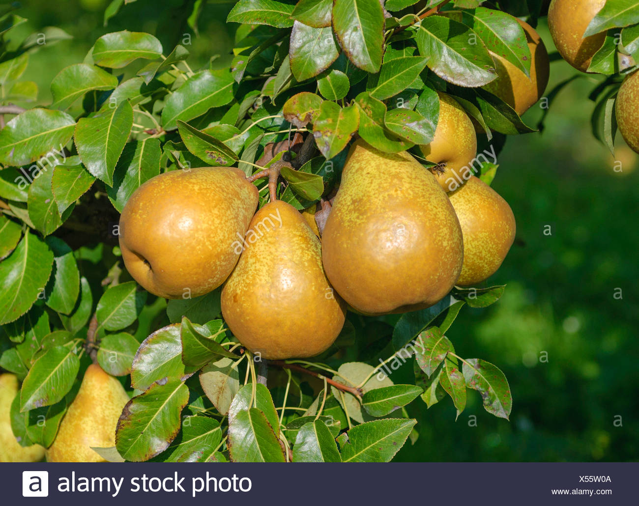 Common pear (Pyrus communis 'General Leclerc', Pyrus communis General Leclerc), cultivar General Leclerc - Stock Image