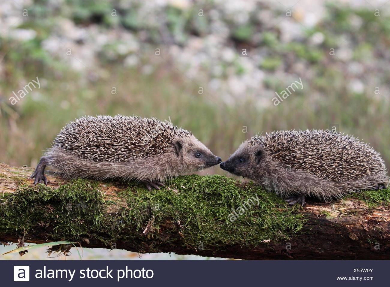 European Hedgehogs (Erinaceus europaeus), young, 7-8 weeks, Allgäu, Bavaria, Germany - Stock Image