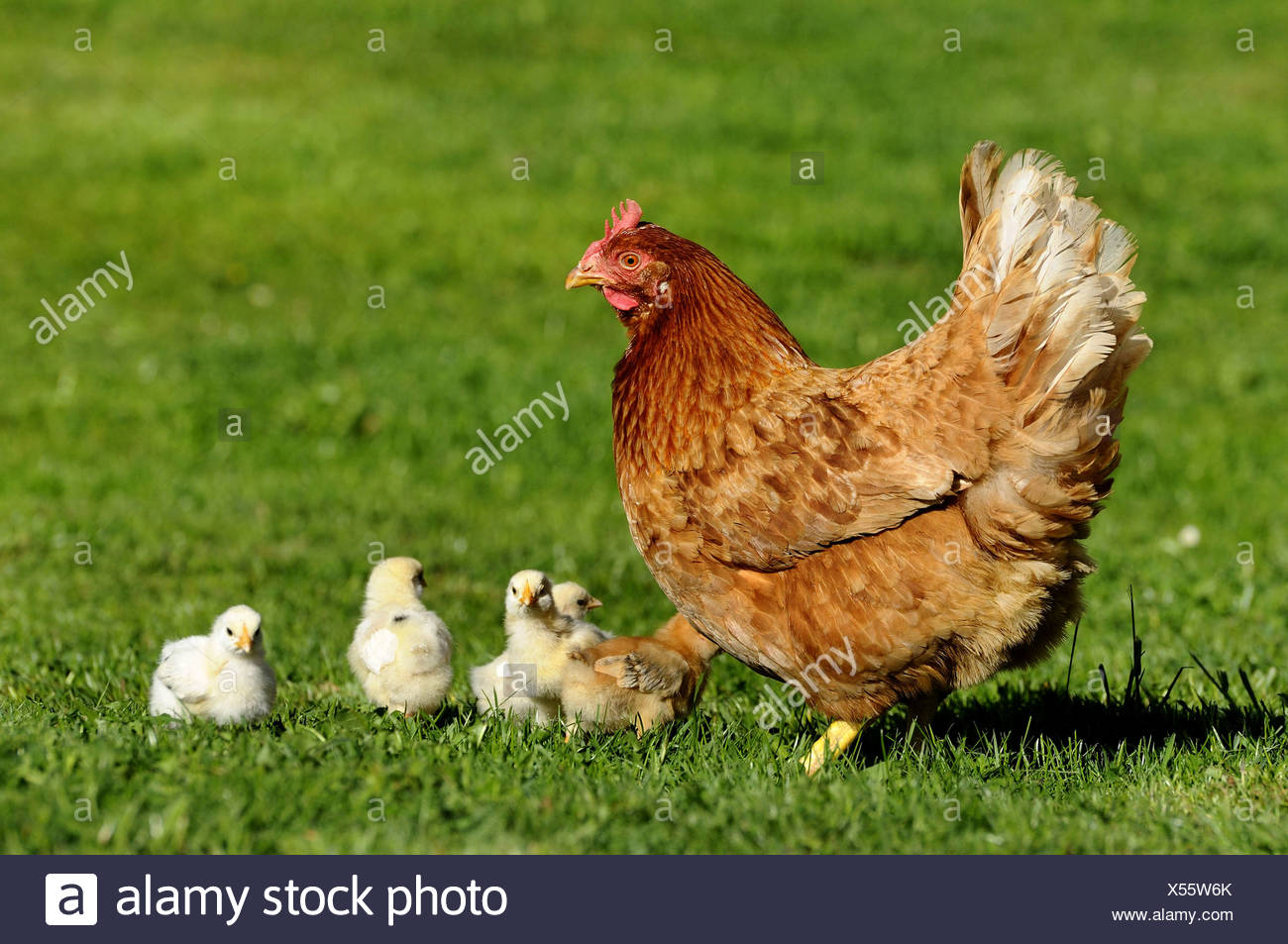 Hen Chicks Meadow Stock Photos Hen Chicks Meadow Stock Images Alamy
