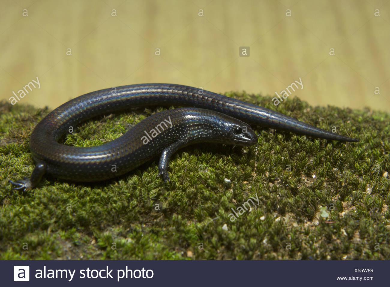 Skink Lygosoma sp, Scincidae, Anamudi shola National Park, Kerala. A dark black coloured skink found in shola forest. Stock Photo