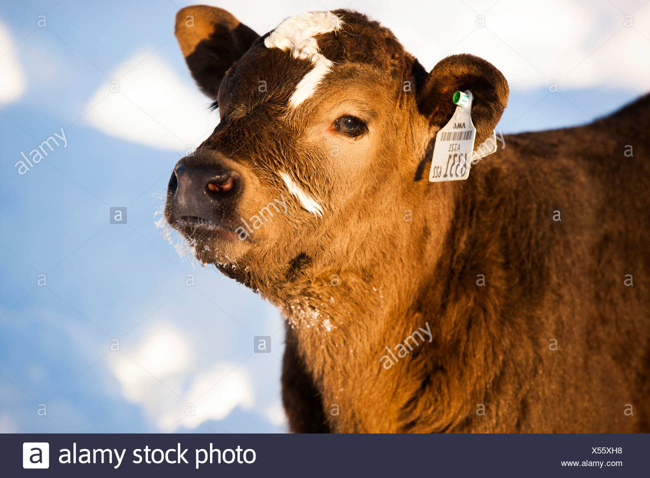 Calf in the snow, half-breed Angus and Simmental Cattle, North Tyrol, Austria - Stock Image