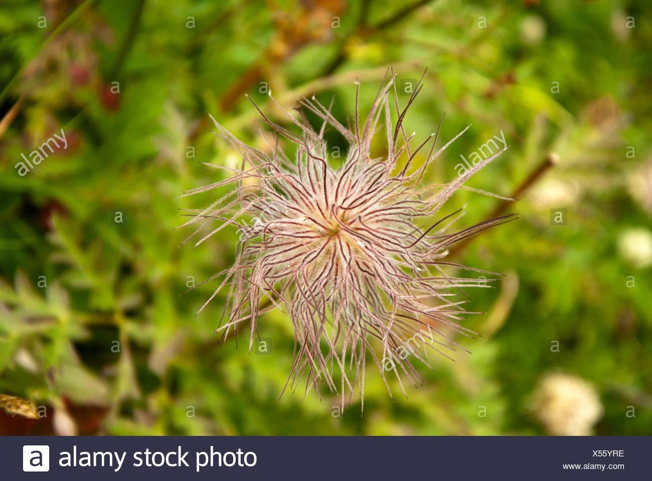 Tousled flower. Italian Alps. Dolomites area. Italy. - Stock Image