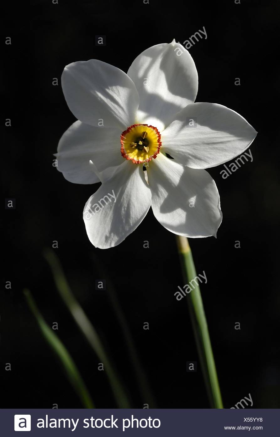 Poets narcissus - Stock Image