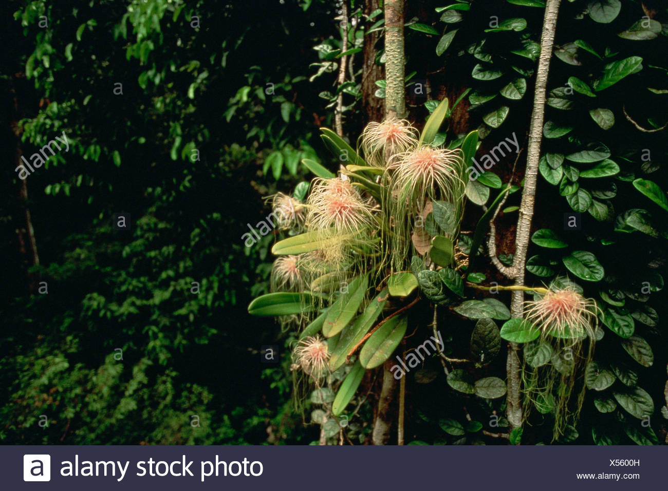 Epiphytic orchid (Bulbophyllum medusae) growing in the canopy of the lowland rainforest, Gunung Palung National Park, Borneo, West Kalimantan, Indonesia - Stock Image