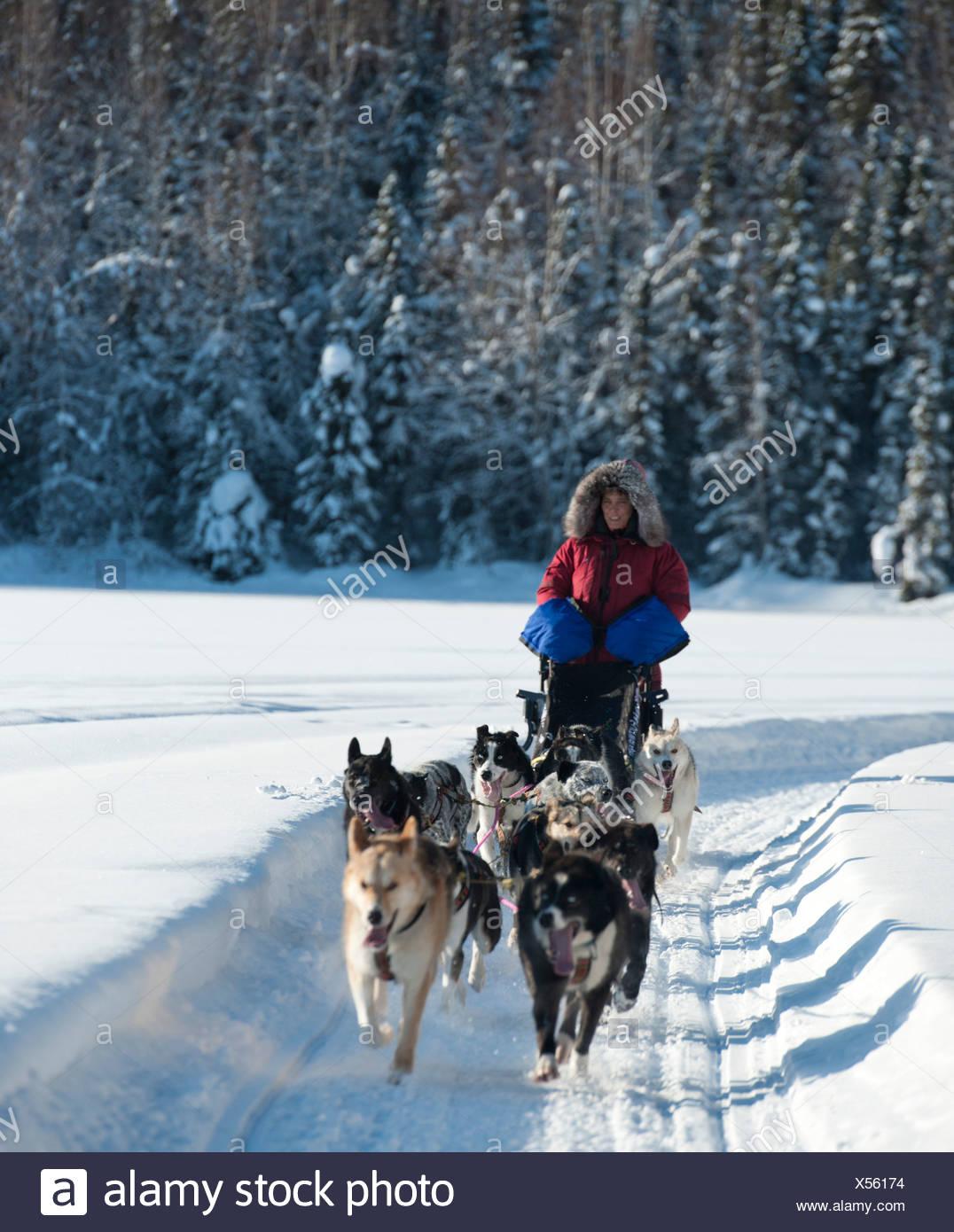 Woman musher runs sled dogs. - Stock Image