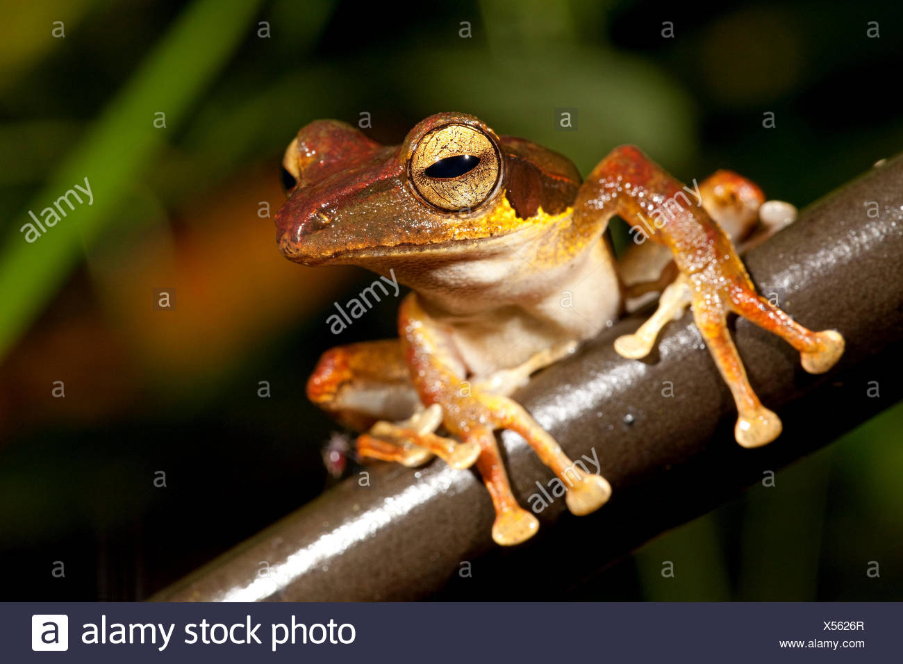Foto van een boomkikker zittend op een stengel; Photo of a dark-eared tree frog sitting on a branch; - Stock Image