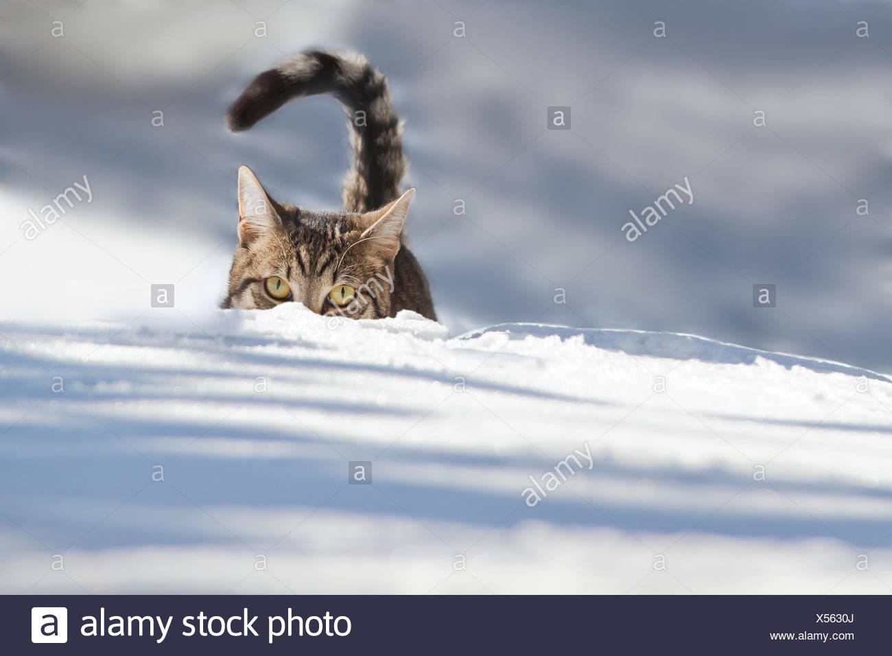 Cat walking through fresh snow, Bavaria, Germany Stock Photo