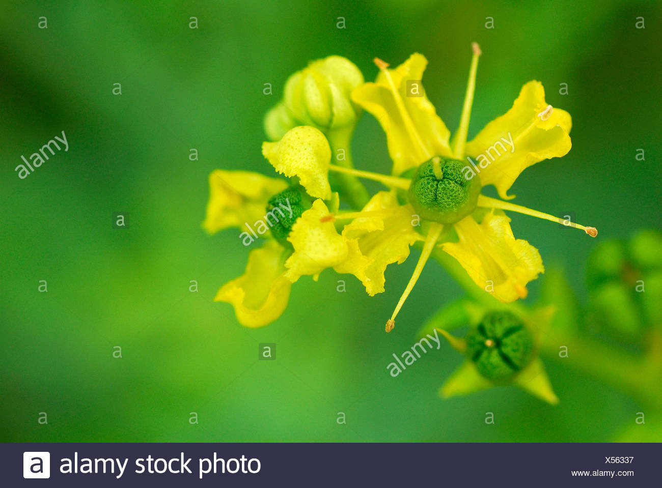 Rue, Herb of Grace - Stock Image