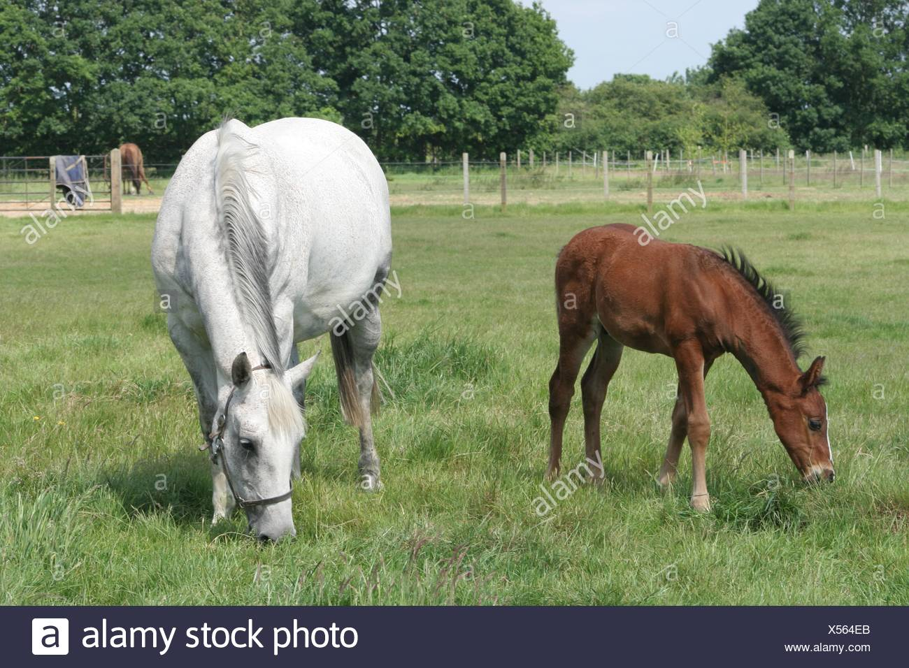 Horse Pony Mare Foal Young Younger Baby Horse Brown Brownish Stock Photo Alamy