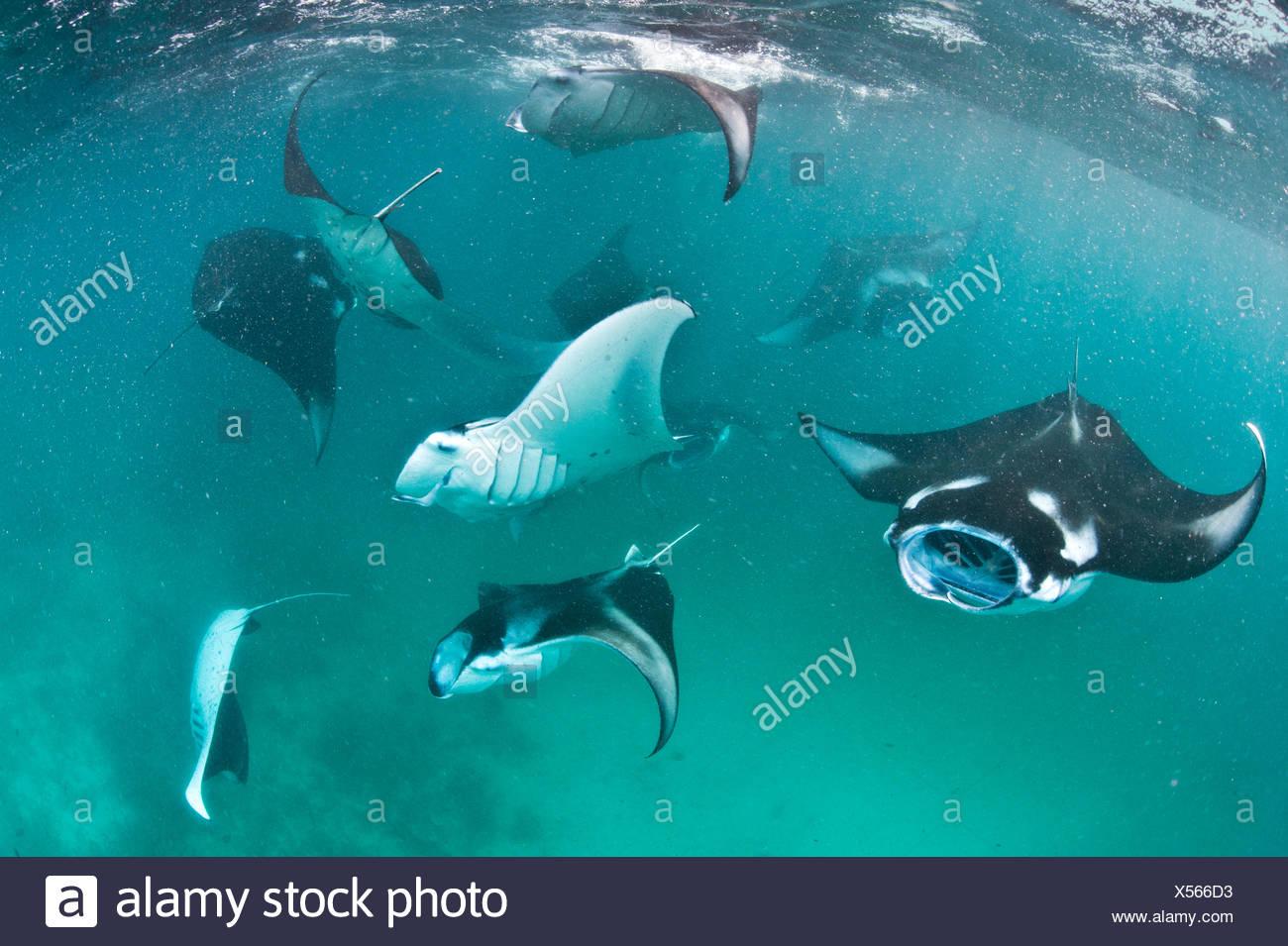Group of Manta rays (Manta birostris) feeding together on plankton in a shallow lagoon. Hanifaru Lagoon, Baa Atoll, Maldives. Indian Ocean. Stock Photo