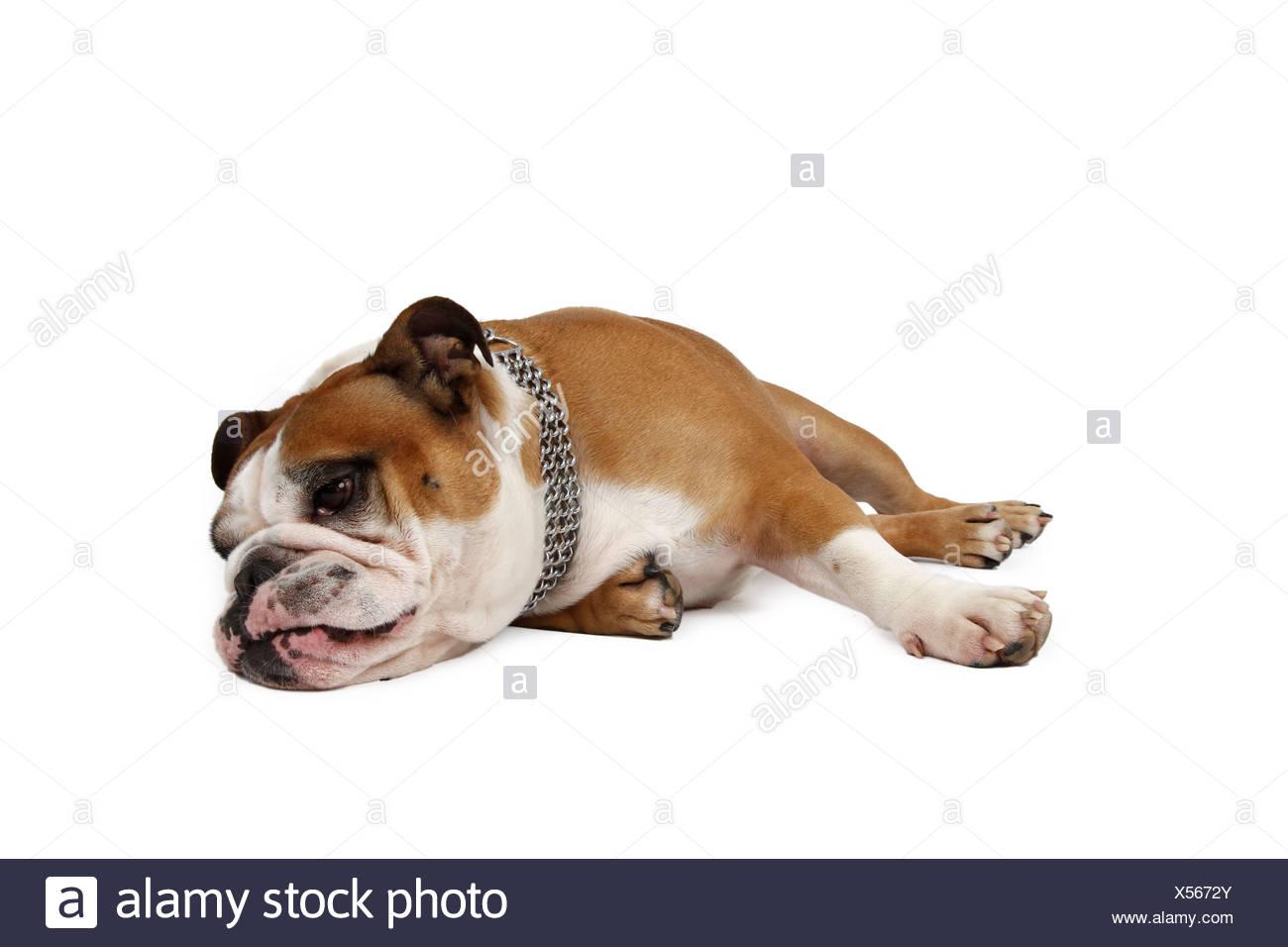 English bulldog (Canis lupus f. familiaris), lying on floor - Stock Image