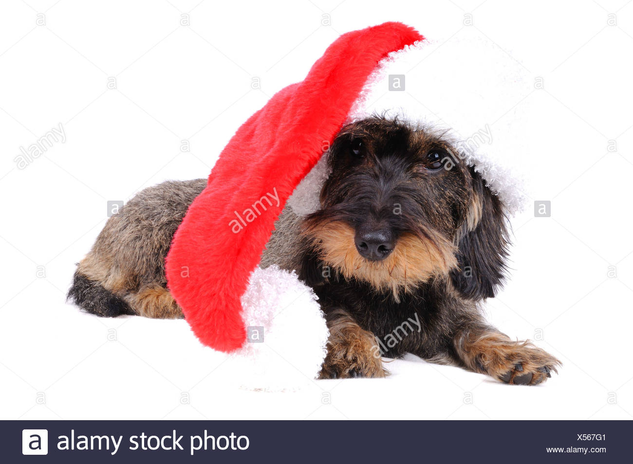 Wire-haired Dachshund, Wire-haired sausage dog, domestic dog (Canis lupus f. familiaris), with red Santa hat Stock Photo
