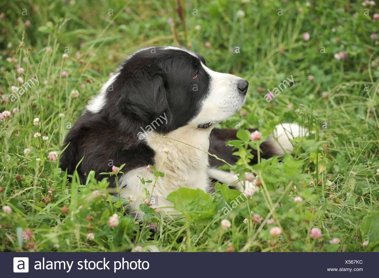Central Asian Shepherd - Stock Image
