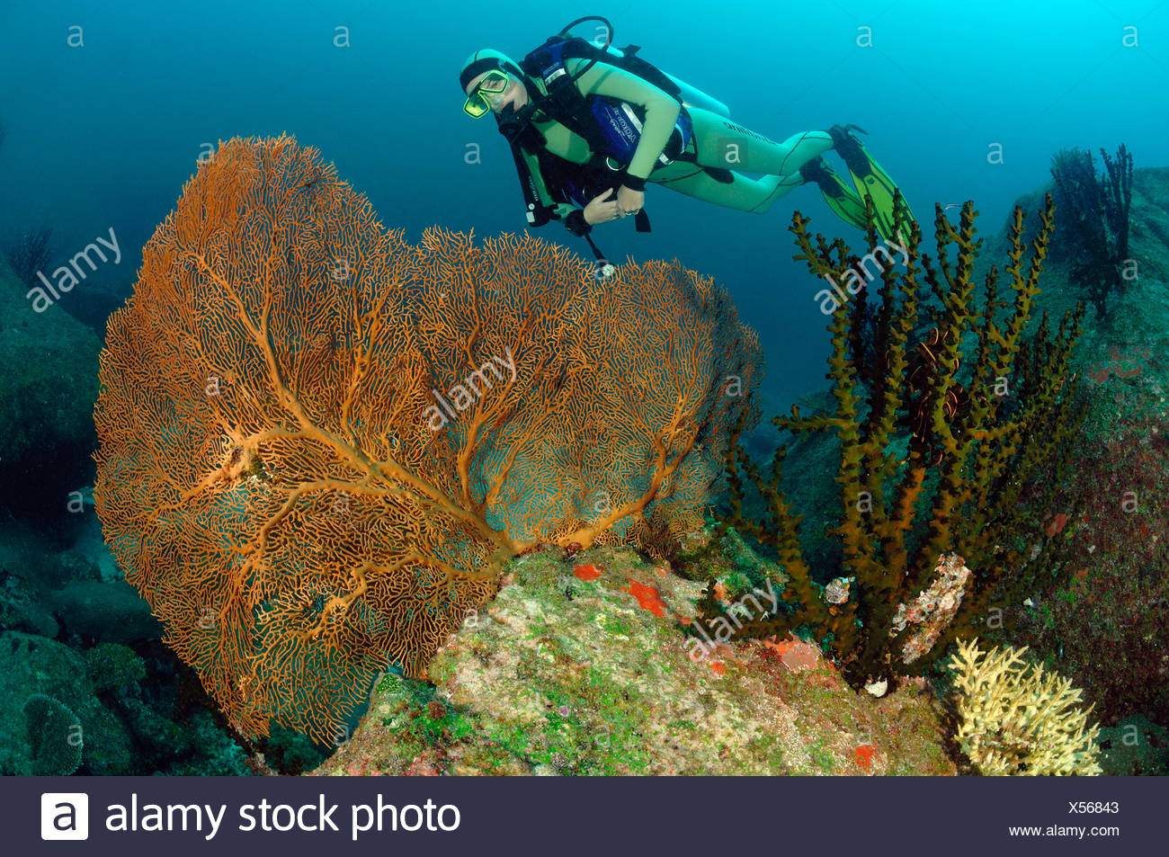 Scuba diving over Coral Reef, Richelieu Rock, Surin Islands, Thailand - Stock Image