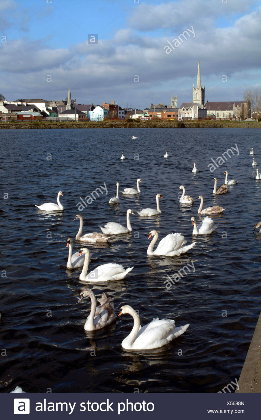 Swans swimming in the harbour in Newry, County Down. - Stock Image