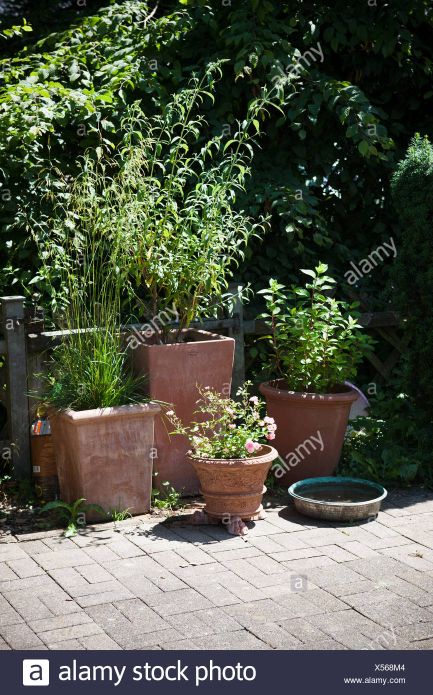 Planter Un Lilas En Pot terracotta pots with roses and summer lilac on the terrace