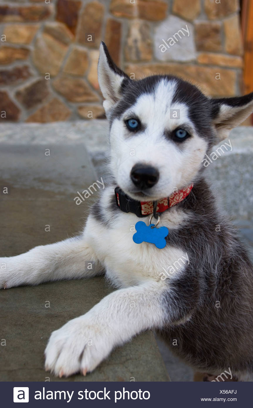 USA, Idaho, Near Sandpoint, Schweitzer Mountain Resort, Siberian Husky Puppy - Stock Image
