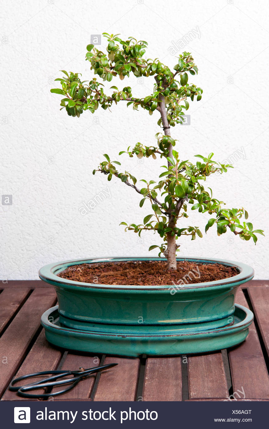 Ligustrum Bonsai Stock Photo Alamy