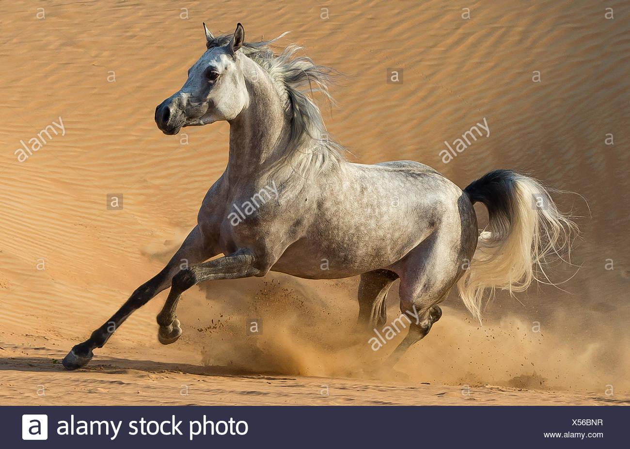 Dapple grey Arabian stallion running in desert dunes near Dubai, United Arab Emirates. - Stock Image