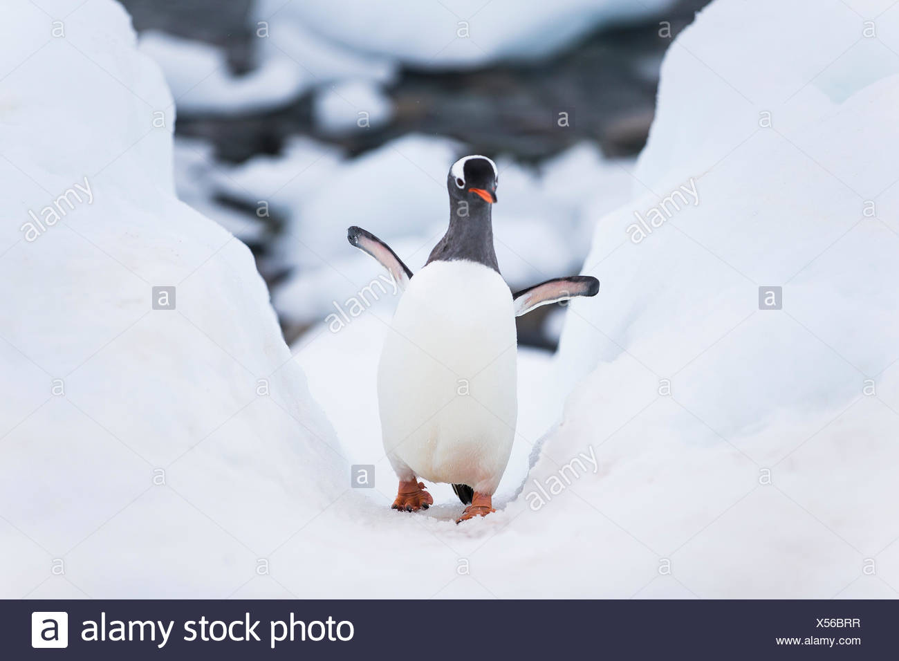 Gentoo penguin walking up a pathway the penguins made to slide in and out of the water. - Stock Image