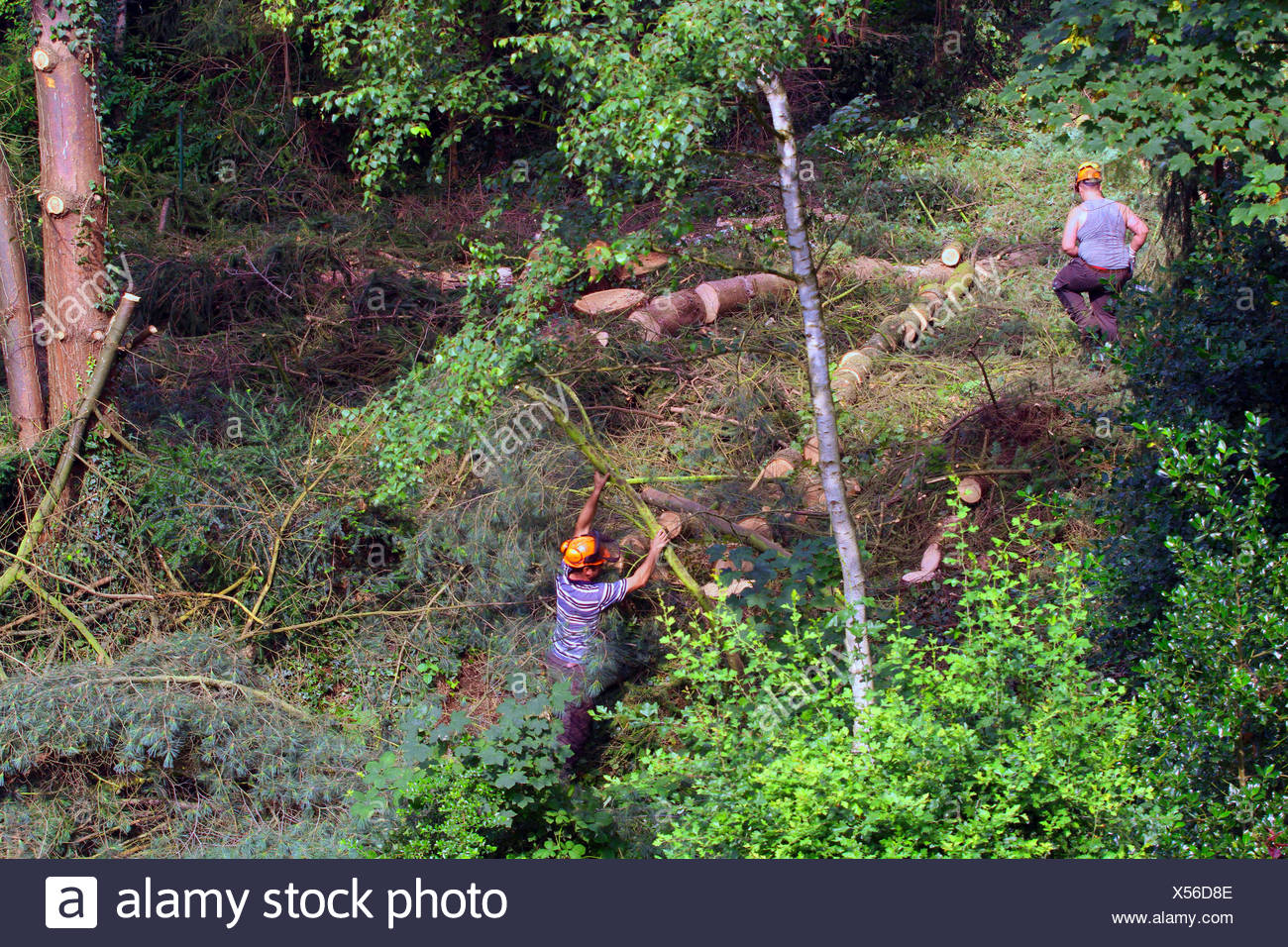 lumberjacks felling trees, Germany Stock Photo