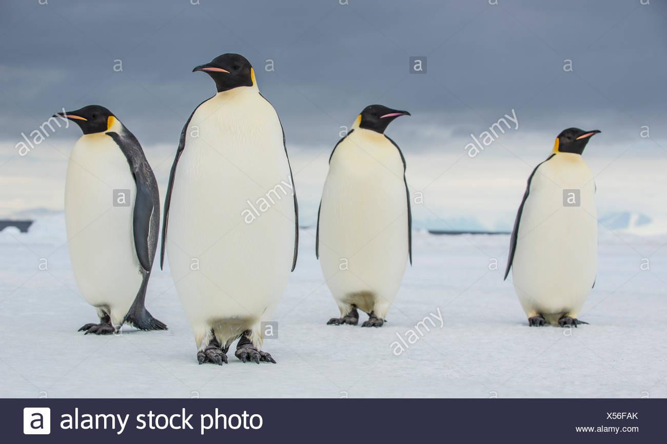 Emperor penguins near Cape Royds, Antarctica. - Stock Image