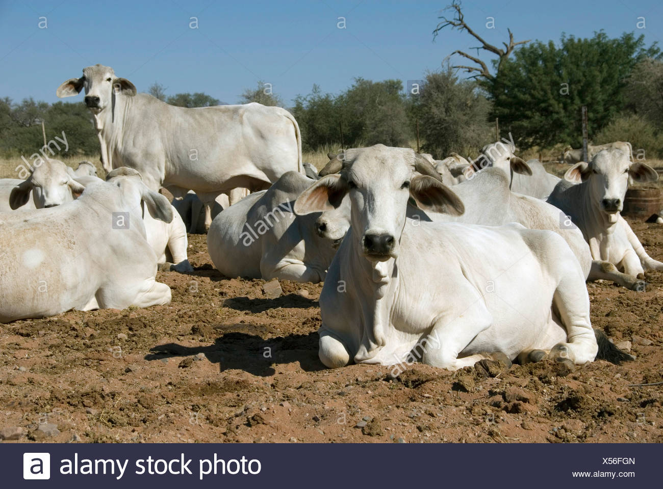 domestic cattle (Bos primigenius f. taurus), white cows resting ruminating, Namibia - Stock Image