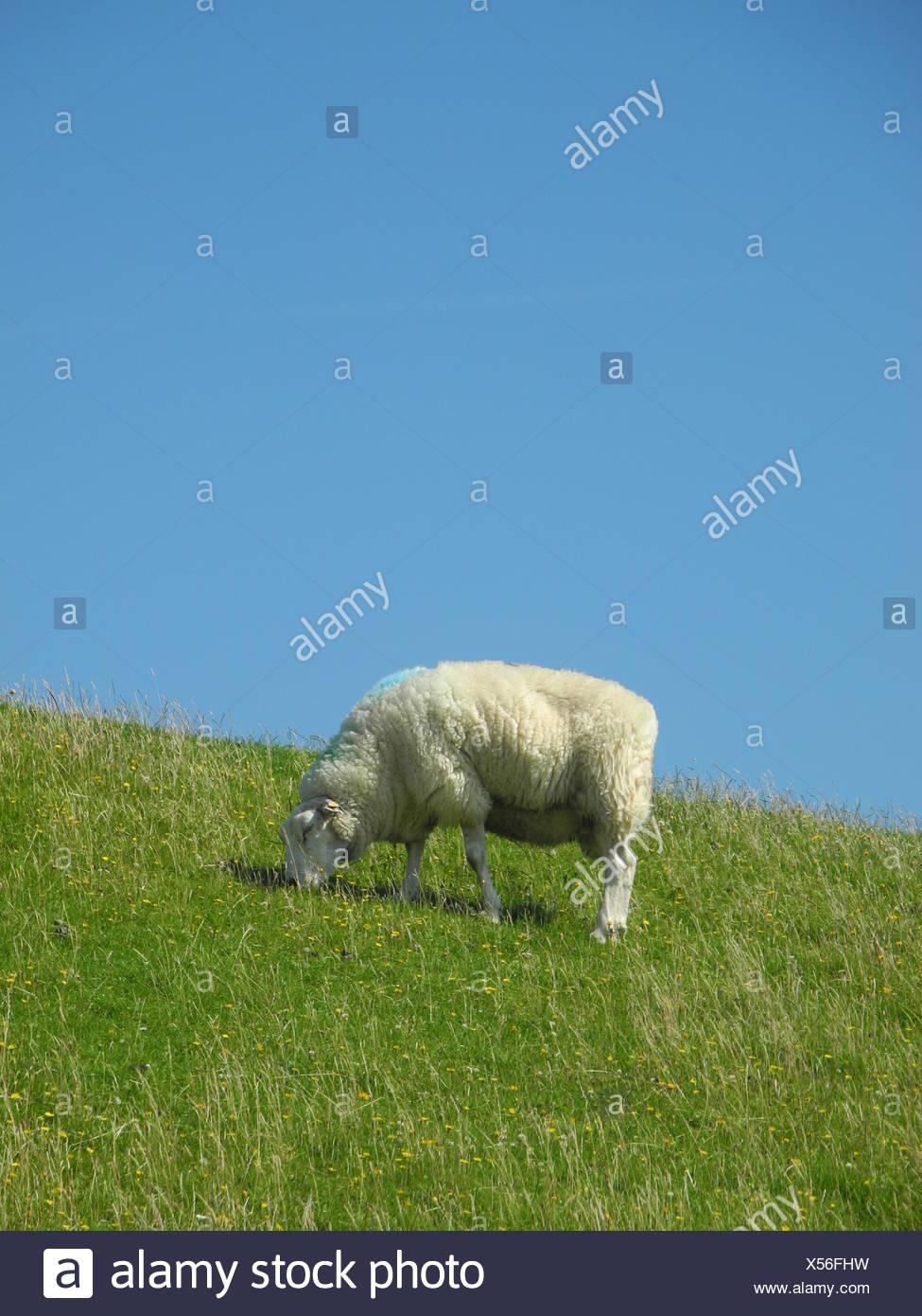 schaf,  deich, nordsee, norddeutschland, tier, grasen, grasend, wiese, weide, gras, schafsweide Stock Photo