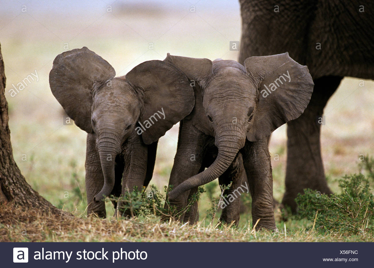 African elephant babies with large ears (Loxodonta africana) Masai Mara NR, Kenya - Stock Image