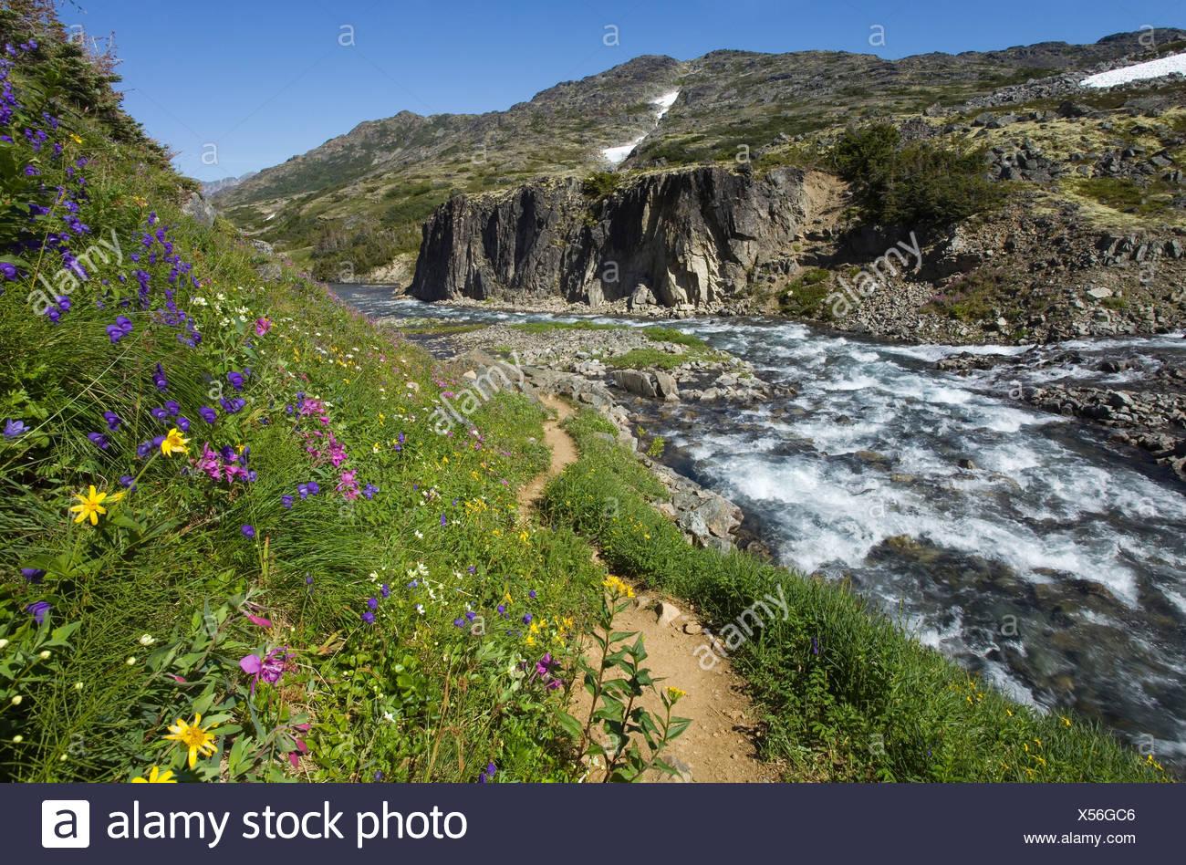 Blooming alpine flowers, historic Chilkoot Pass, Chilkoot Trail, creek behind, alpine tundra, Yukon Territory, British Columbia - Stock Image