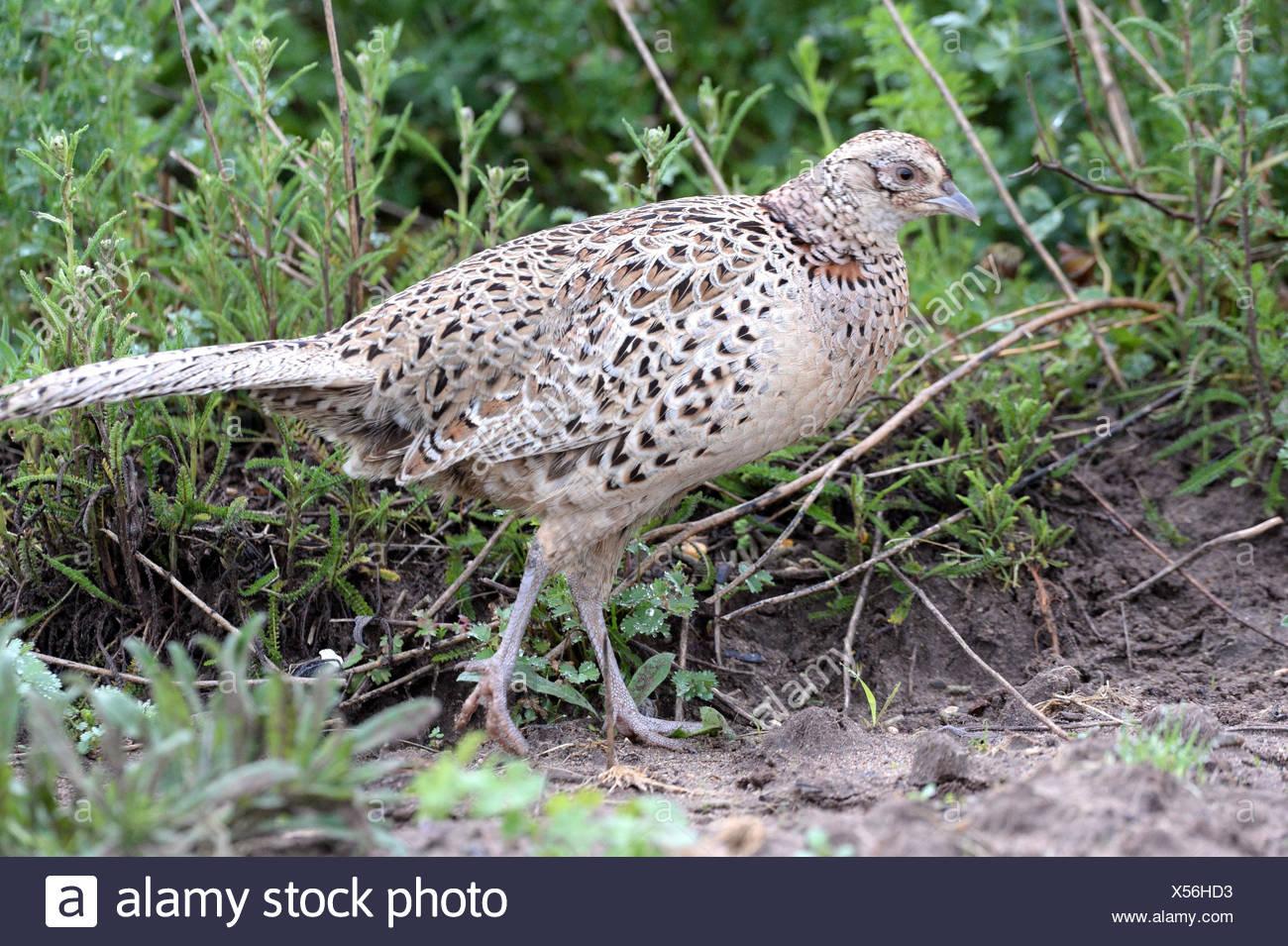 Pheasant, pheasant hen, Phasianus colchicus, - Stock Image