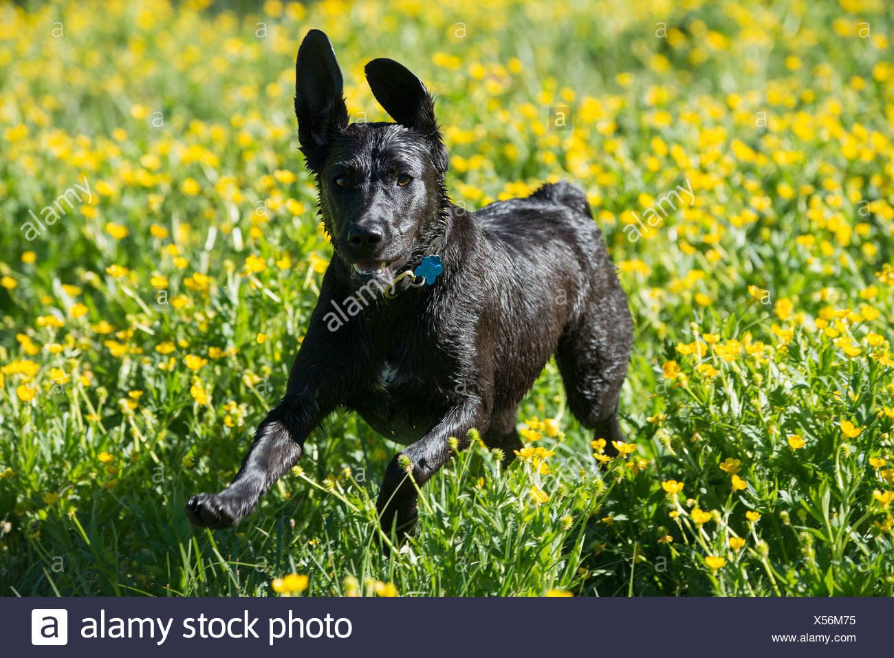 A black labrador dog running through wildflowers, with her ears flapping. - Stock Image