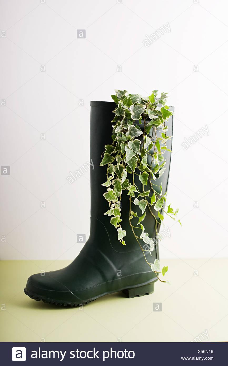 Ivy growing Wellington boot Stock Photo
