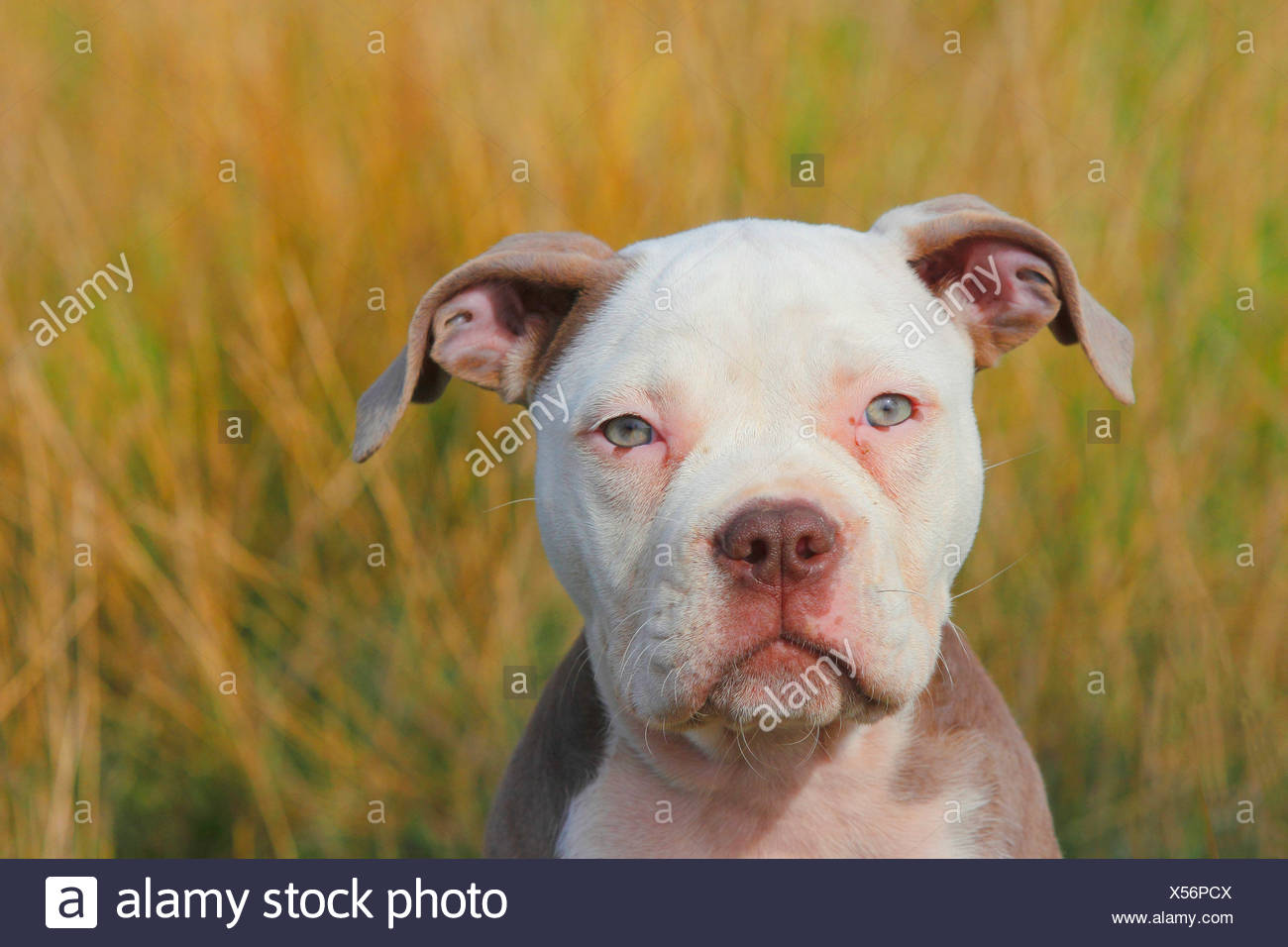 Olde English Bulldog (Canis lupus f. familiaris), twelve weaks old puppy sitting in a meadow, portrait, Germany - Stock Image