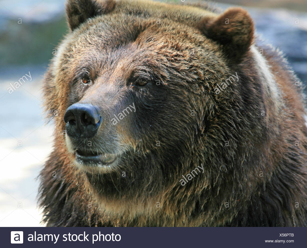 Bear - Stock Image