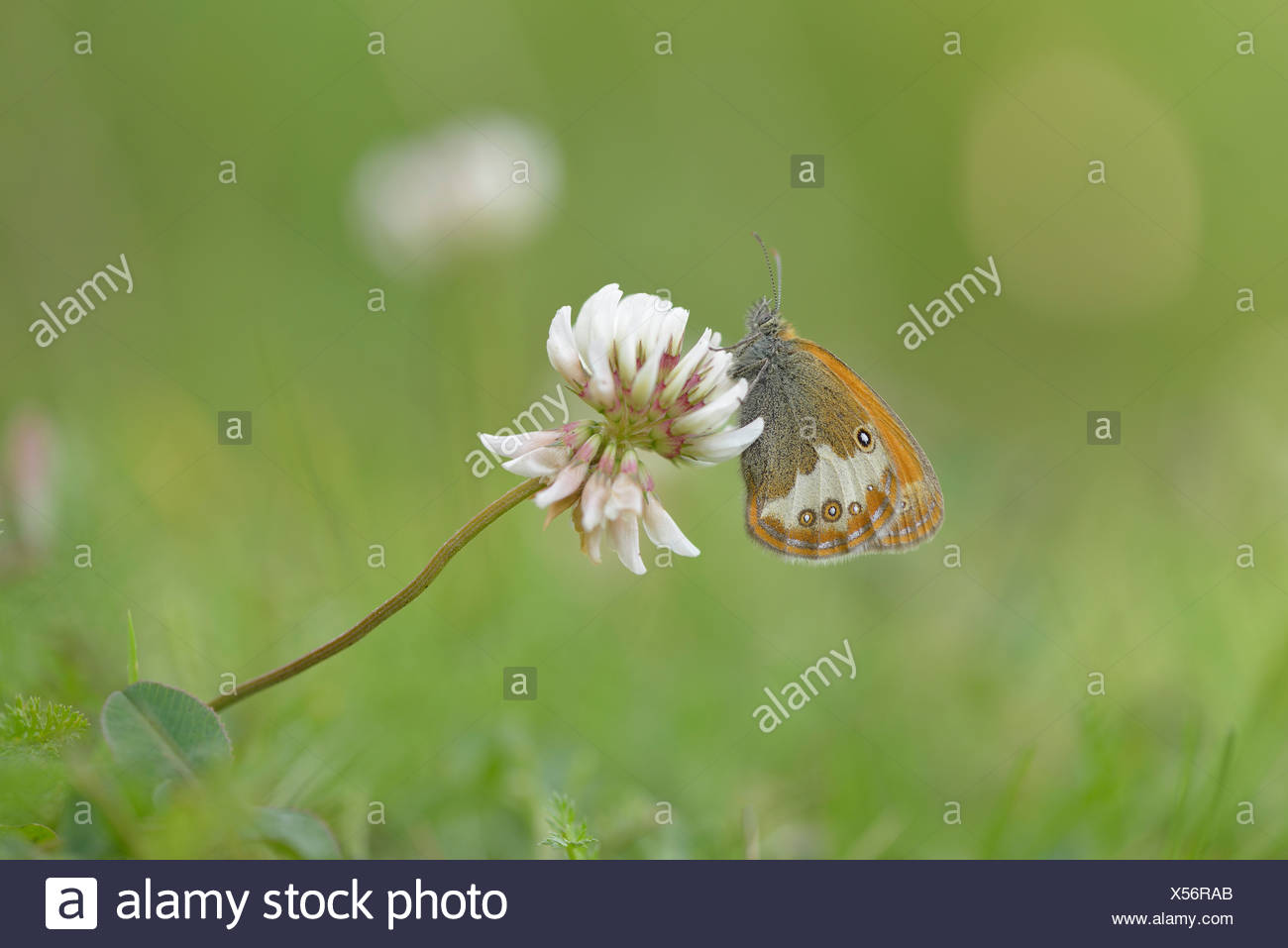 Pearly Heath (Coenonympha arcania), Ústí nad Labem Region, Czech Republic - Stock Image